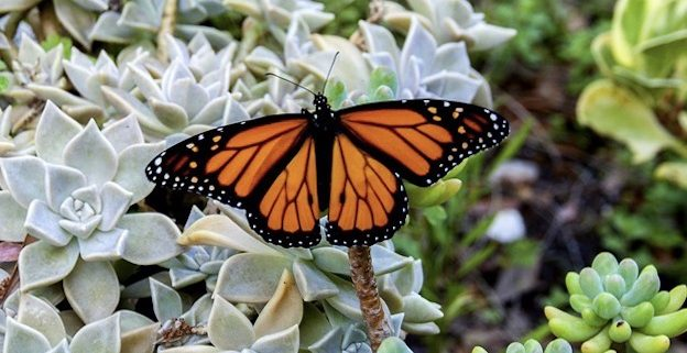 Monarch Butterflies in Florida